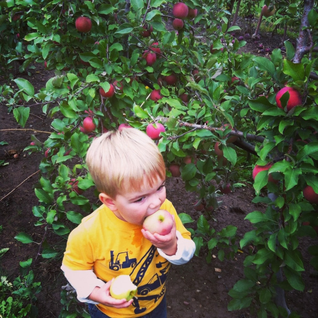 Apple picking for Apple Crisp